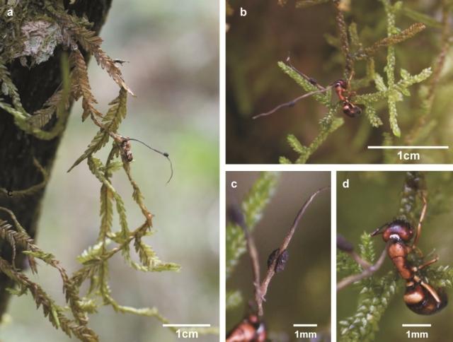 Fungos que transformam formigas em zumbis são encontrados no Sul do Brasil