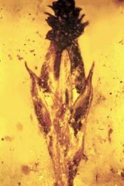 Imagem retirada do artigo científico original. Mostra a espigueta da gramínea envolta pelo âmbar, onde é possível ver no ápice da pequena flor uma estrutura negra (esclerócio do fungo), parte reprodutiva Palaeoclaviceps parasiticus.