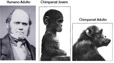 Fontes: Charles Darwin: Wikipedia https://en.wikipedia.org/wiki/Charles_Darwin%27s_health. Chimpanzés: http://www.sjgarchive.org/library/ontogeny.html