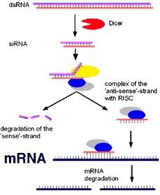 Mecanismo de RNAi