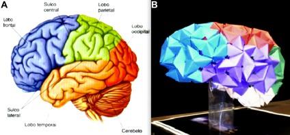 Comparativo entre cérebro humano e modelo em origami