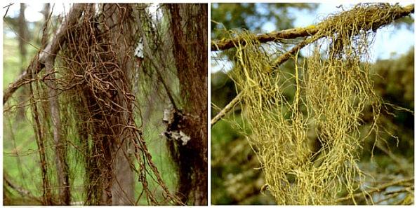 Figura 1: À direita o líquen marrom Bryoria fremontii; à esquerda o líquen marrom Bryoria fremontiide. Fonte: artigo original deTony Spribille e colaboradores.